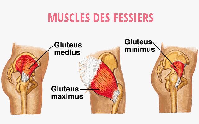 morphologie-des-muscles-fessiers