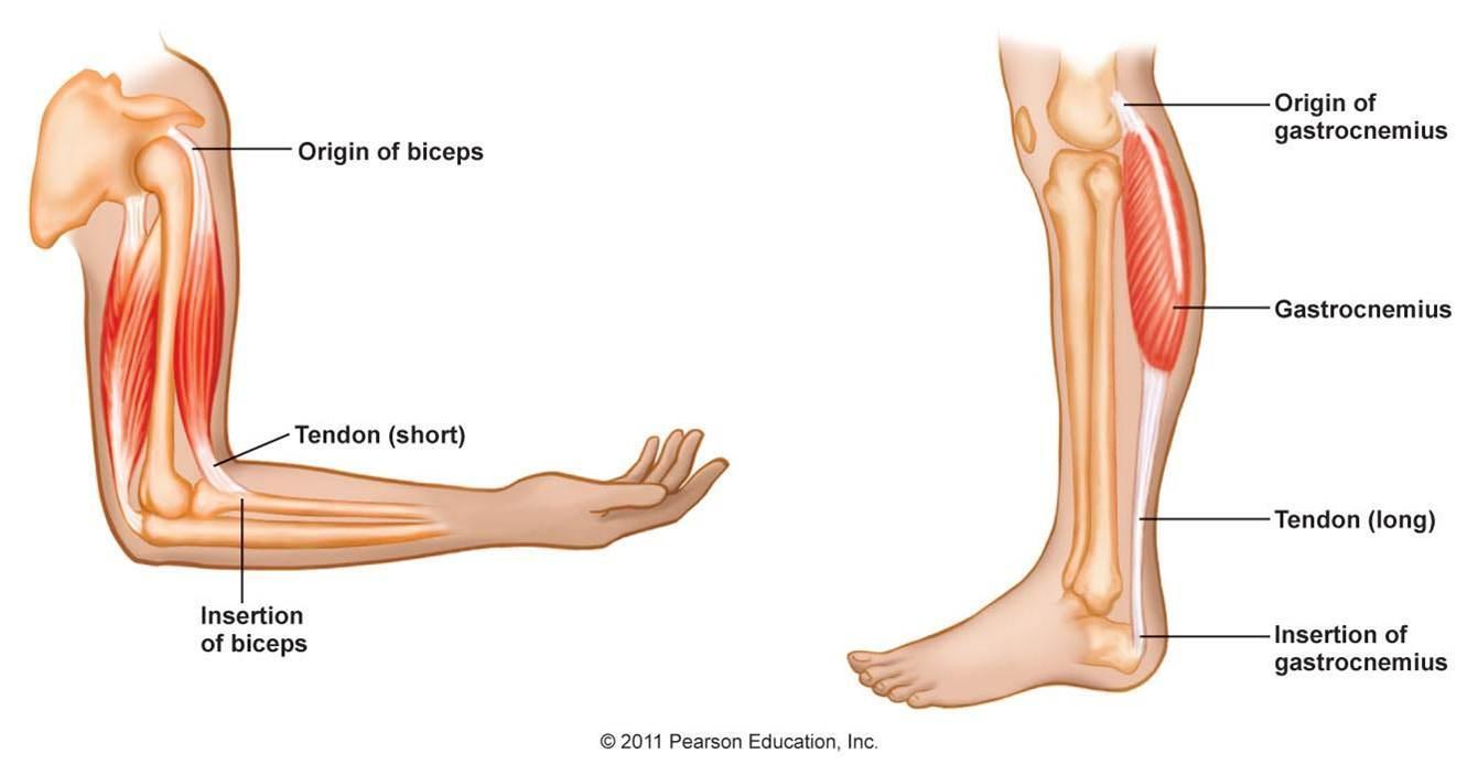 Insertion muscle pour la force