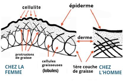 Micro-anatomie de la cellulite